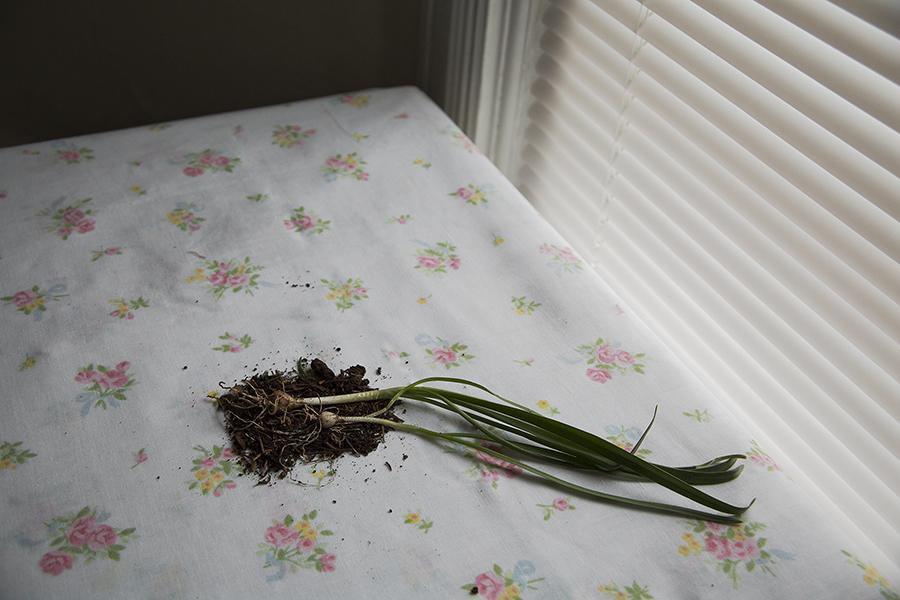 "30"" x 20"" Archival inkjet print. Plant bulb and dirt on the corner of a table, flowered table cloth, window, blinds. Color photograph."